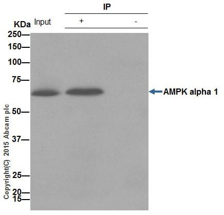 Immunoprecipitation - Anti-AMPK alpha 1 antibody [Y365] (ab32047)