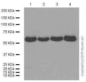 Western blot - Anti-AMPK alpha 1 antibody [Y365] (ab32047)