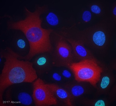 Immunocytochemistry/ Immunofluorescence - Anti-Cyclin B1 antibody [Y106] (ab32053)
