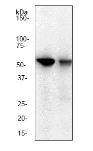 Western blot - Anti-Cyclin B1 antibody [Y106] (ab32053)
