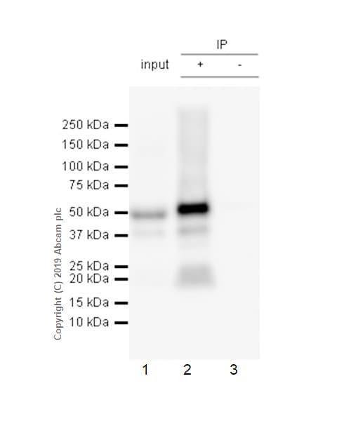 Immunoprecipitation - Anti-Tau antibody [E178] (ab32057)