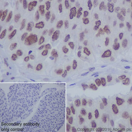 Immunohistochemistry (Formalin/PFA-fixed paraffin-embedded sections) - Anti-Sumo 1 antibody [Y299] - ChIP Grade (ab32058)