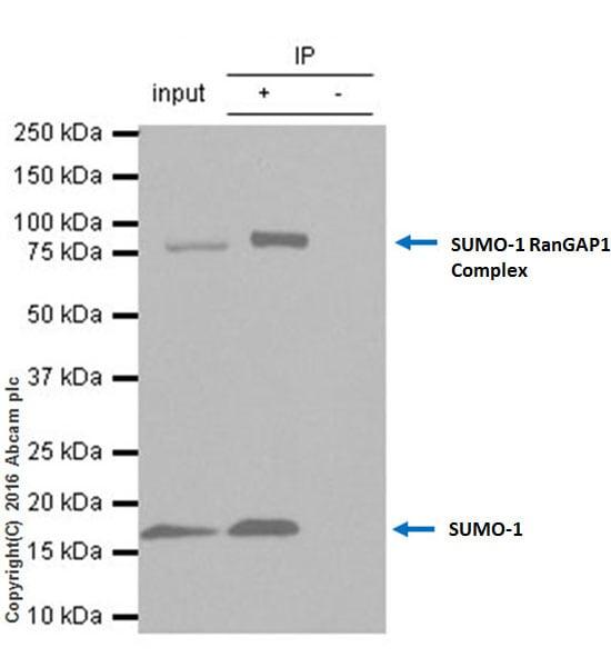 Immunoprecipitation - Anti-Sumo 1 antibody [Y299] - ChIP Grade (ab32058)