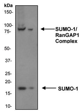 Western blot - Anti-Sumo 1 antibody [Y299] - ChIP Grade (ab32058)