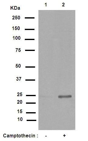 Western blot - Anti-Cleaved PARP1 antibody [E51] (ab32064)