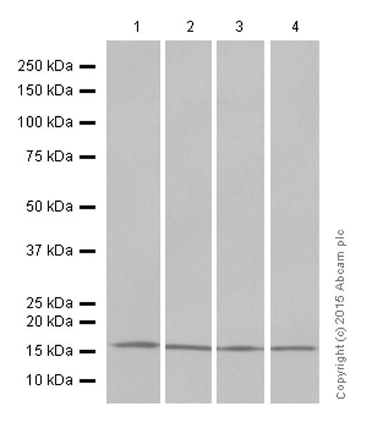 Western blot - Anti-Histone H3 (di methyl K4) antibody [Y47] - ChIP Grade (ab32356)