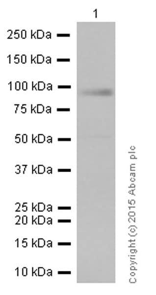 Western blot - Anti-RAP1GAP antibody [Y134] (ab32373)