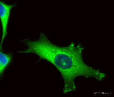 Immunocytochemistry/ Immunofluorescence - Anti-PKC alpha antibody [Y124] (ab32376)