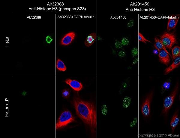 Immunocytochemistry/ Immunofluorescence - Anti-Histone H3 (phospho S28) antibody [E191] - ChIP Grade (ab32388)