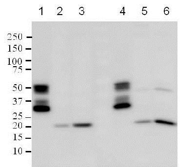 Western blot - Anti-Bax antibody [E63] (ab32503)