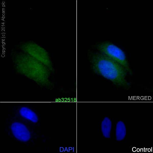 Immunocytochemistry/ Immunofluorescence - Anti-IKB alpha antibody [E130] (ab32518)