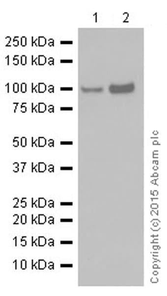 Western blot - Anti-STAT6 antibody [YE361] (ab32520)
