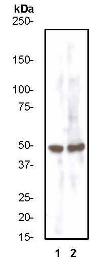 Western blot - Anti-CCR7 antibody [Y59] (ab32527)