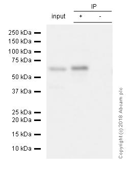 Immunoprecipitation - Anti-S6K1 antibody [E343] (ab32529)