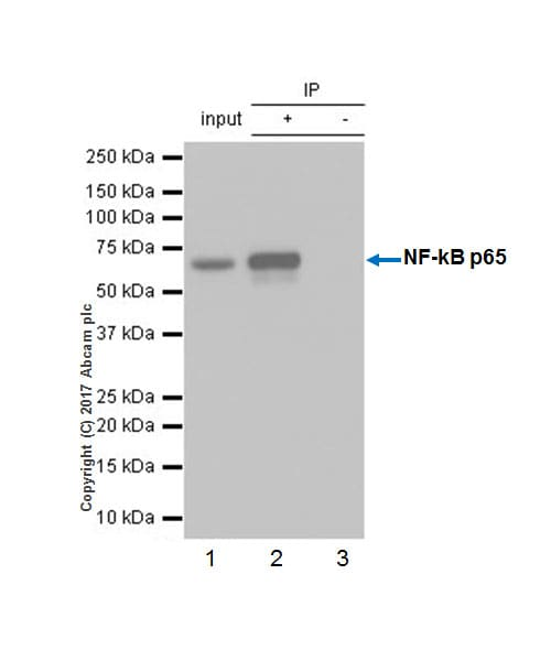 Immunoprecipitation - Anti-NF-kB p65 antibody [E379] (ab32536)