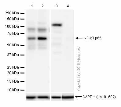 Western blot - Anti-NF-kB p65 antibody [E379] (ab32536)
