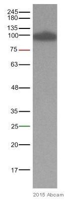 Western blot - Anti-beta Catenin antibody [E247] - ChIP Grade (ab32572)