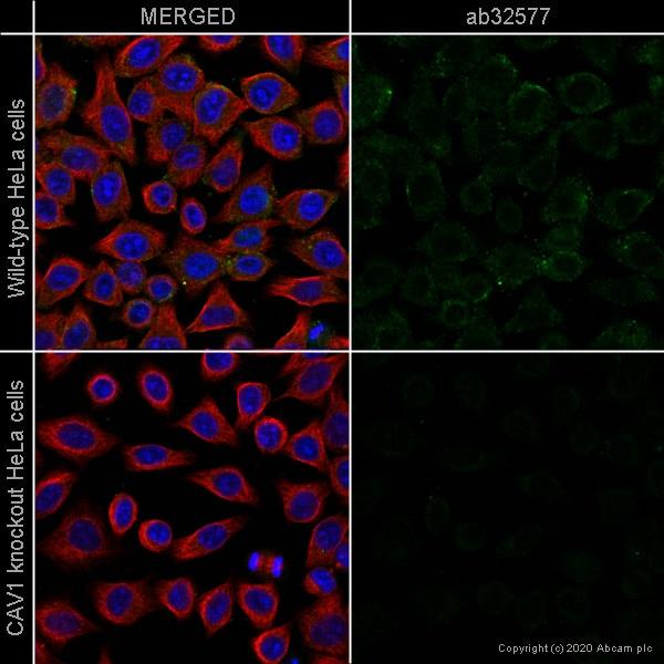 Immunocytochemistry - Anti-Caveolin-1 antibody [E249] - Caveolae Marker (ab32577)