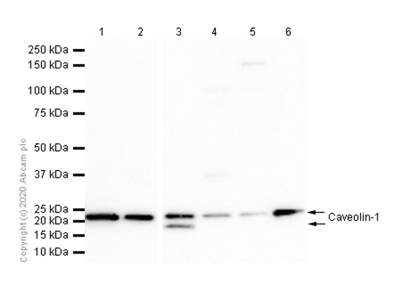 Western blot - Anti-Caveolin-1 antibody [E249] - Caveolae Marker (ab32577)