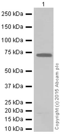 Western blot - Anti-MEKK2 antibody [EP626Y] (ab33918)