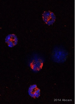 Immunocytochemistry/ Immunofluorescence - Anti-MMP9 antibody (ab38898)