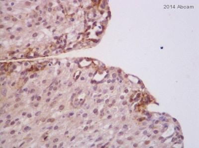 Immunohistochemistry (Formalin/PFA-fixed paraffin-embedded sections) - Anti-Caspase-3 antibody (ab4051)