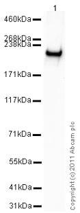 Western blot - Anti-BRG1 antibody (ab4081)