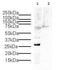 Western blot - Anti-Histone H1.2 antibody - ChIP Grade (ab4086)