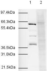 Western blot - Anti-Apc7 antibody (ab4171)