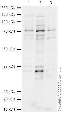 Western blot - Anti-CHFR antibody (ab4184)