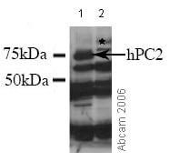Western blot - Anti-CBX4 antibody (ab4189)