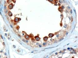 Immunohistochemistry (Formalin/PFA-fixed paraffin-embedded sections) - Anti-ALMS1 antibody (ab4306)
