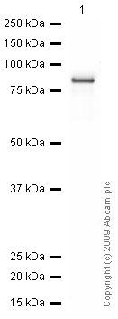 Western blot - Anti-EED antibody (ab4469)