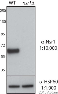 Western blot - Anti-Nsr1p antibody [31C4] (ab4642)