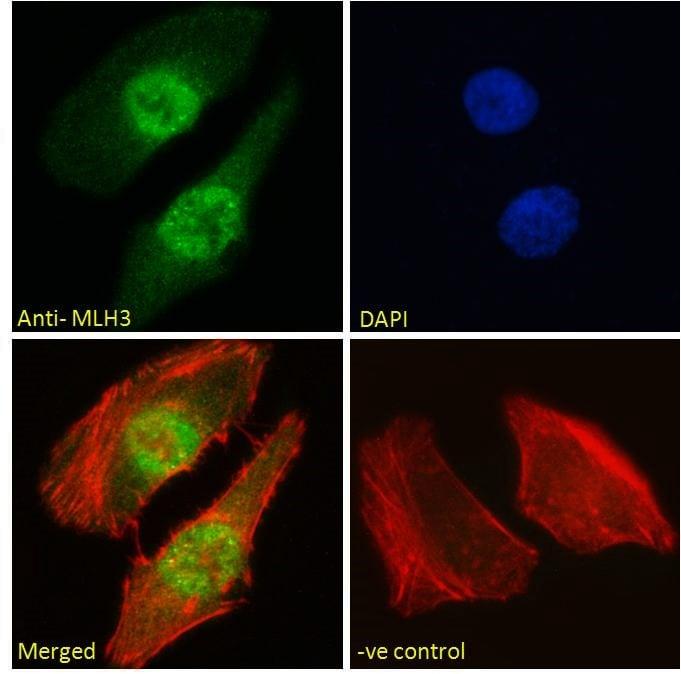 Immunocytochemistry/ Immunofluorescence - Anti-MLH3 antibody (ab4834)