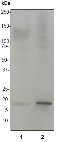Western blot - Anti-Histone H3 (acetyl K27) antibody [EP865Y] - ChIP Grade (ab45173)
