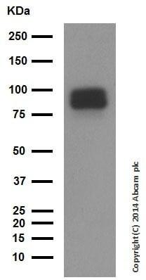 Western blot - Anti-Chromogranin A antibody (ab45179)