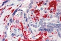 Immunohistochemistry (Formalin/PFA-fixed paraffin-embedded sections) - Anti-Iba1 antibody (ab48004)
