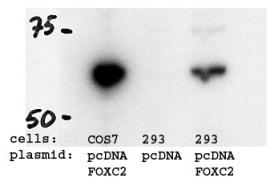 Western blot - Anti-FOXC2 antibody (ab5060)