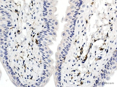 Immunohistochemistry (Formalin/PFA-fixed paraffin-embedded sections) - Anti-Iba1 antibody (ab5076)