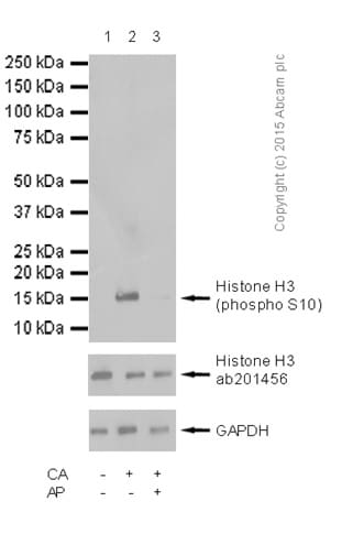 Western blot - Anti-Histone H3 (phospho S10) antibody - ChIP Grade (ab5176)