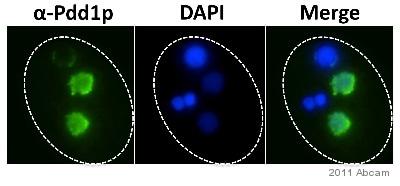 Immunocytochemistry - Anti-Pdd1 antibody (ab5338)