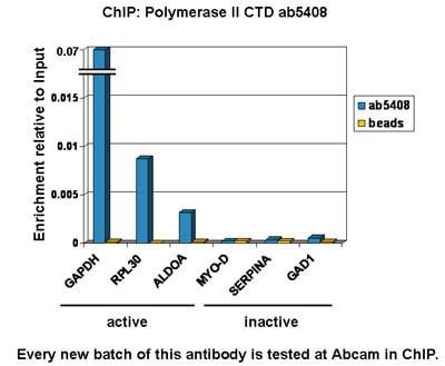 ChIP - Anti-RNA polymerase II CTD repeat YSPTSPS (phospho S5) antibody [4H8] - ChIP Grade (ab5408)