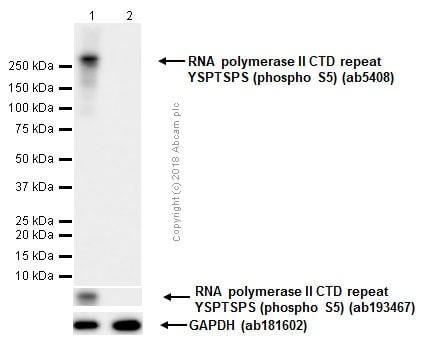 Western blot - Anti-RNA polymerase II CTD repeat YSPTSPS (phospho S5) antibody [4H8] - ChIP Grade (ab5408)