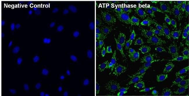 Immunocytochemistry - Anti-ATPB antibody [4.3E8.D10] - Mitochondrial Marker (ab5432)