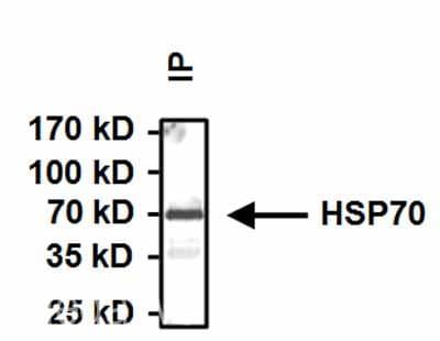 Immunoprecipitation - Anti-Hsp70 antibody [3A3] (ab5439)