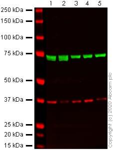 Western blot - Anti-Hsp70 antibody [3A3] (ab5439)
