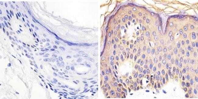 Immunohistochemistry (Floating vibratome sections) - Anti-RAC1 + Cdc42 (phospho S71) antibody (ab5482)