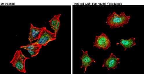Immunocytochemistry/ Immunofluorescence - Anti-nNOS (neuronal) (phospho S1417) antibody (ab5583)