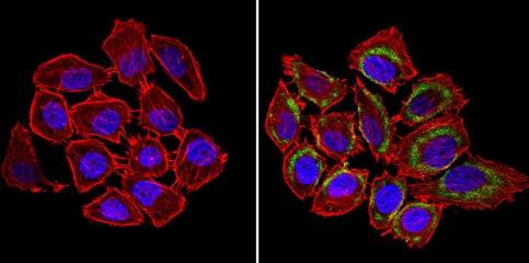 Immunocytochemistry/ Immunofluorescence - Anti-nNOS (neuronal) antibody (ab5586)